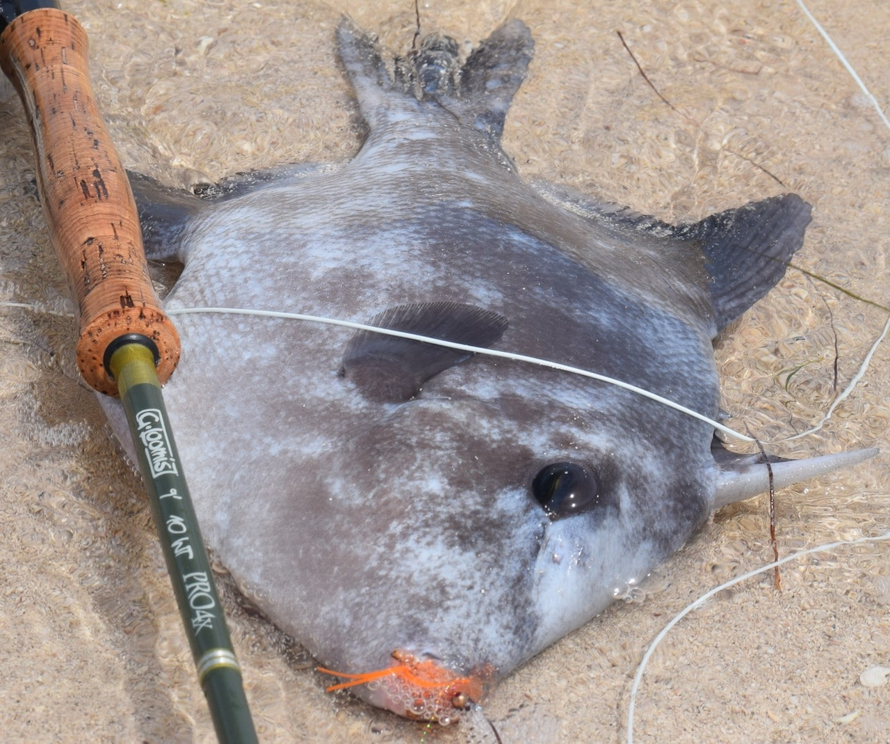 Trigger fish are super-fun to catch